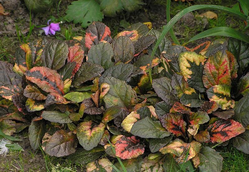 Живучка ползучая — необходимый элемент цветника