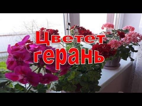 Удобрение для герани с йодом для обильного цветения, видео