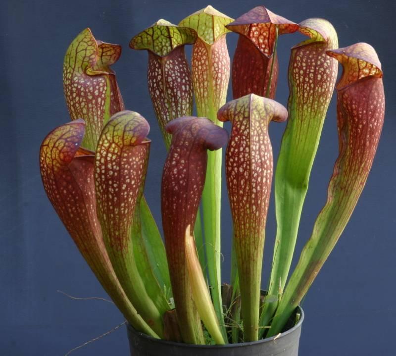 Плотоядные растения –  разновидности, описание, фото