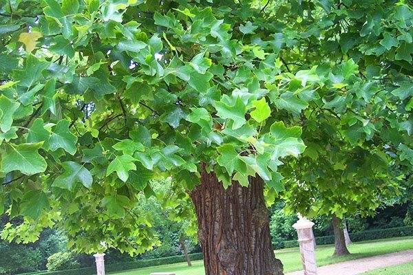 Тюльпановое дерево лириодендрон (liriodendron tulipifera)