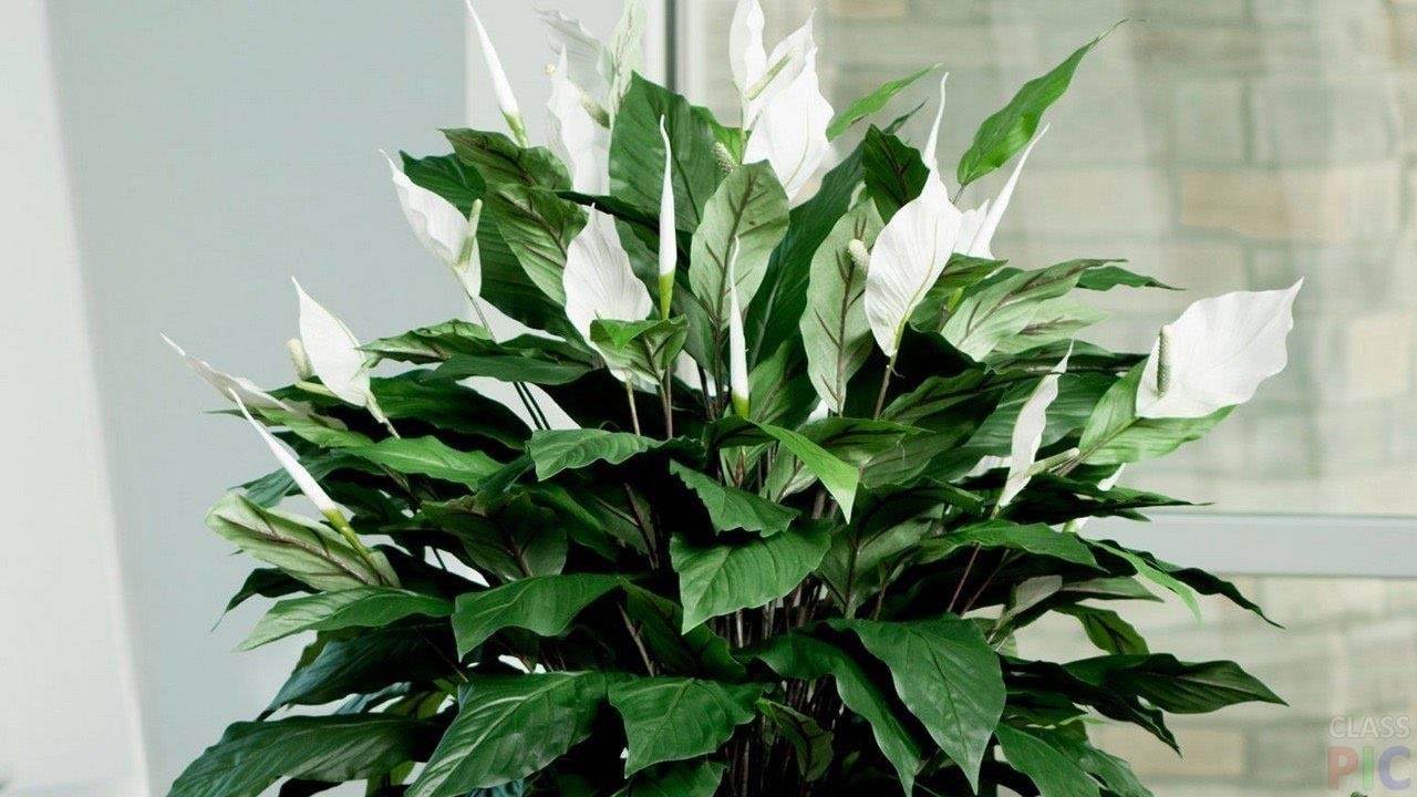 Почему чернеют листья у спатифиллума и что с этим делать?