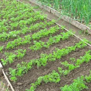 Когда и как посадить петрушку рассадой?