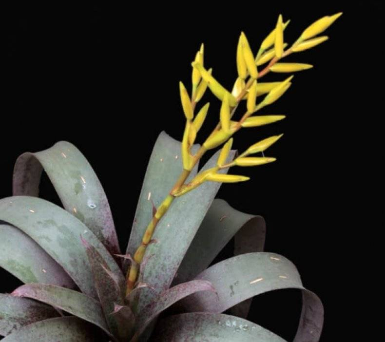 Вриезия: сорта и рекомендации по уходу