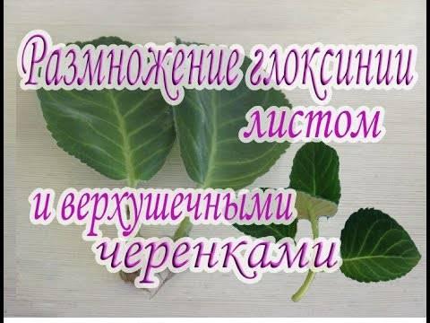 Глоксиния — размножение листом и клубнем в домашних условиях