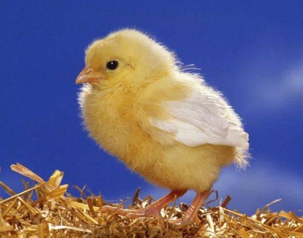 Инструкция по применению препарата байкокс для цыплят