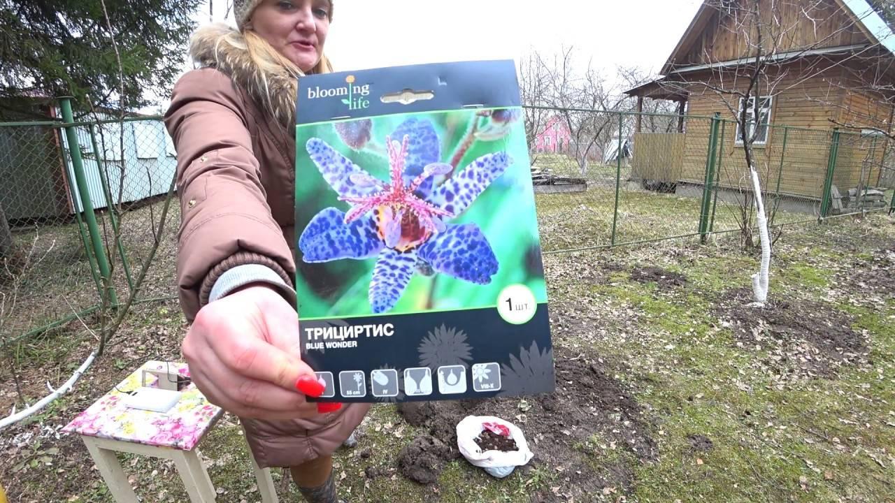Садовая орхидея трициртис — выращивание и уход в саду, видео