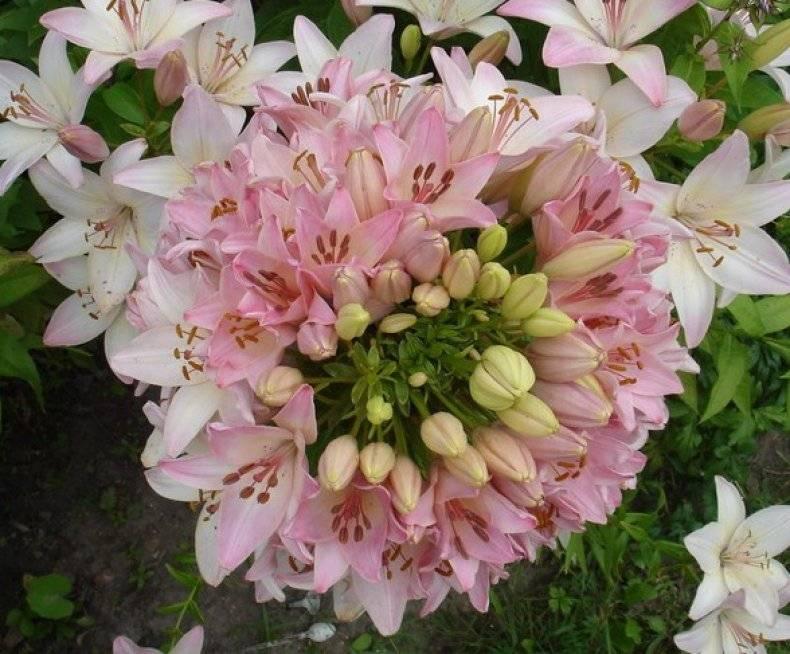 Лилии: посадка осенью в открытый грунт, подготовка лилий к зиме