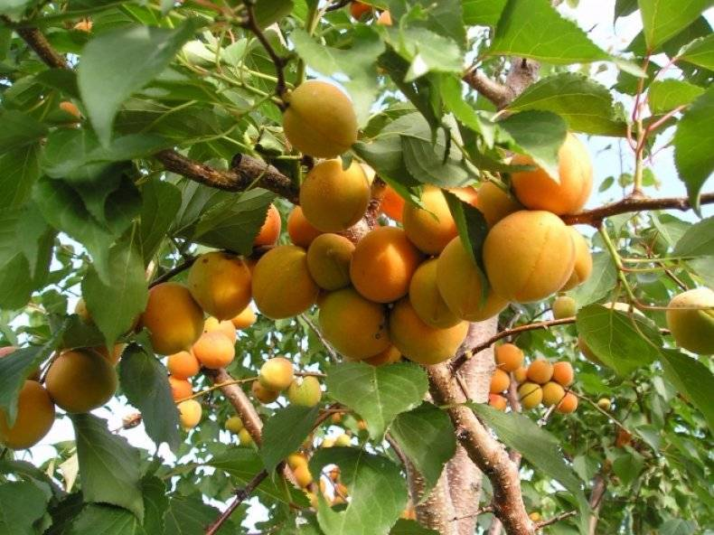 Будет ли плодоносить поросль сливы