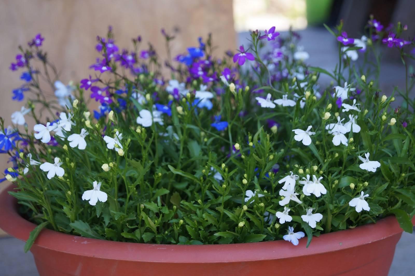 Какие сорта лобелии пригодны к посадке в открытом грунте? фото и правила ухода за растением