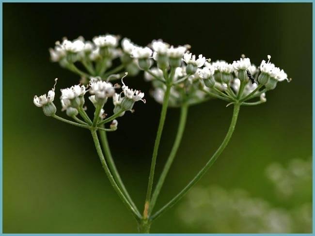 Анис: особенности выращивания в открытом грунте