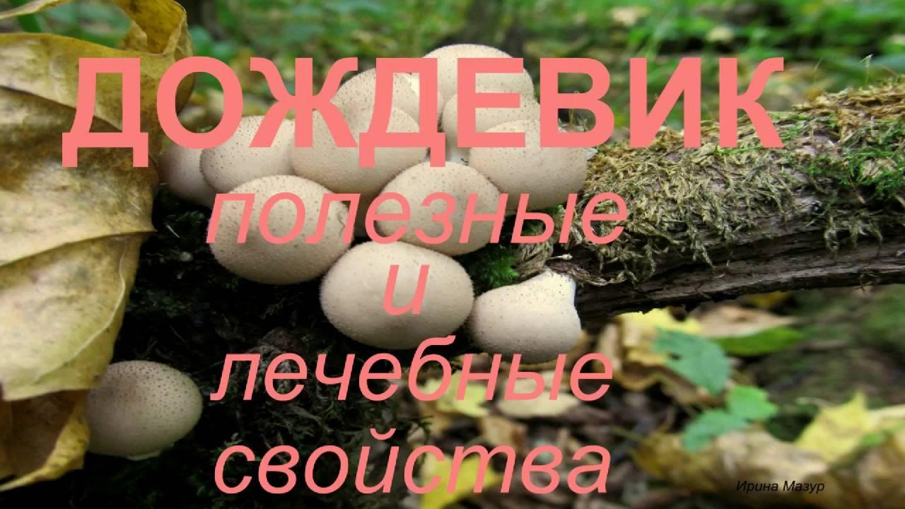 Вкусный и полезный гриб дождевик, описание и использование. гриб дождевик – полезные свойства, противопоказания и рецепты