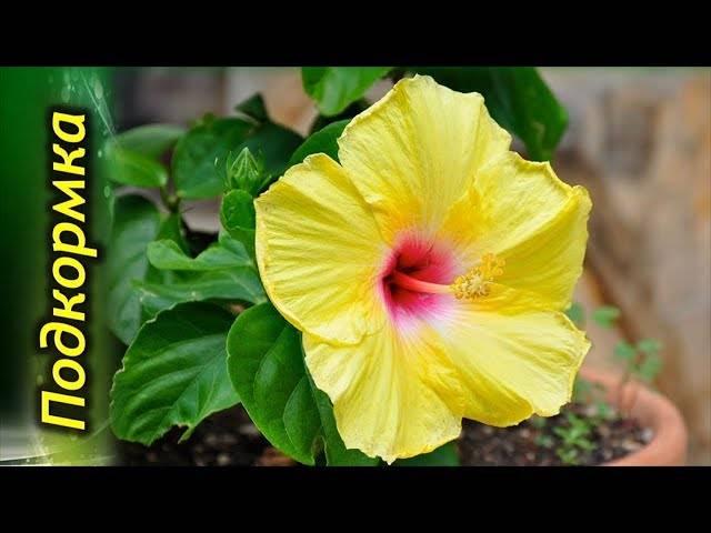 Удобрения для комнатного гибискуса во время цветения