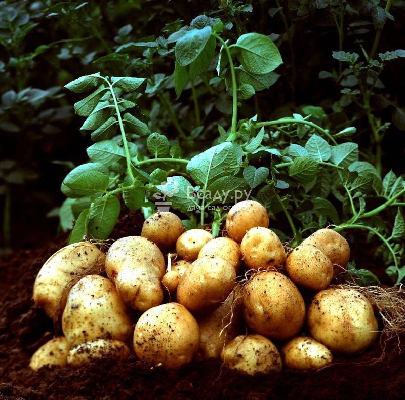 Подкормка картофеля перед окучиванием