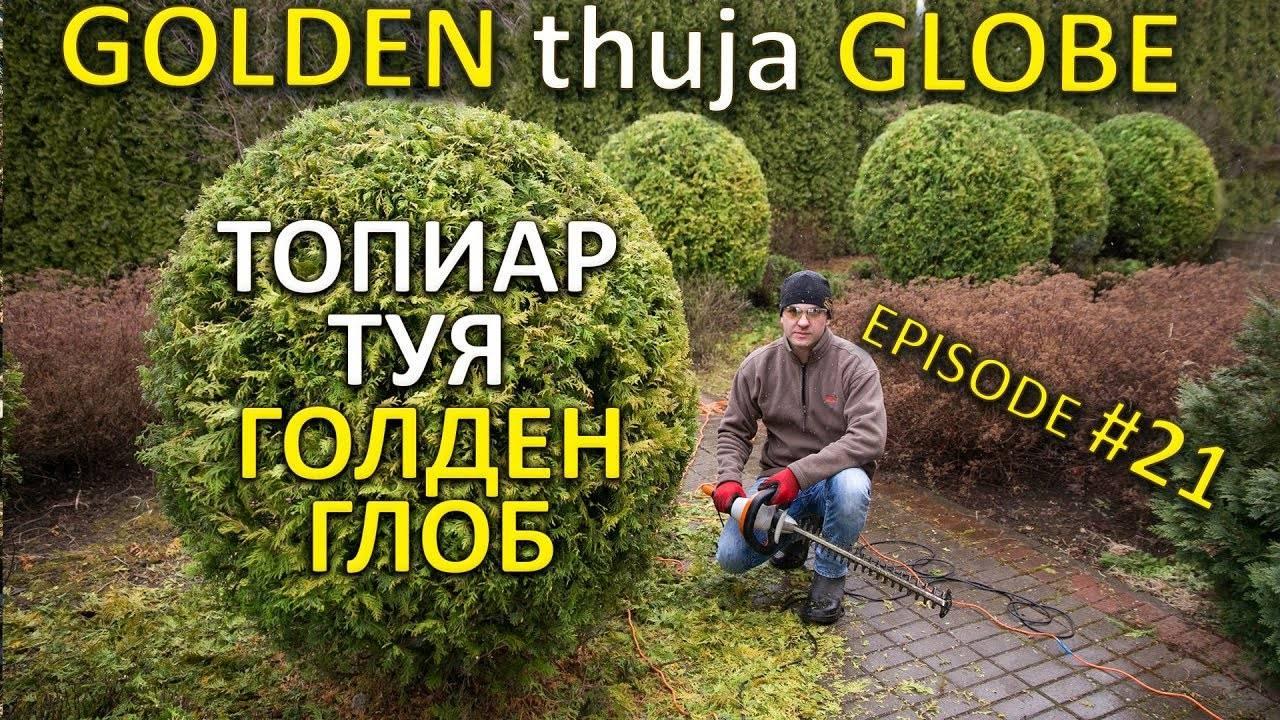 Туя западная golden globe. туя западная голден глоб: описание, особенности выращивания. пока саженец не приживется
