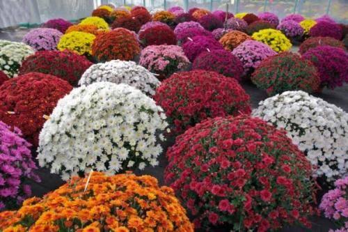Шаровидные хризантемы: посадка и уход в открытом грунте, размножение, особенности выращивания
