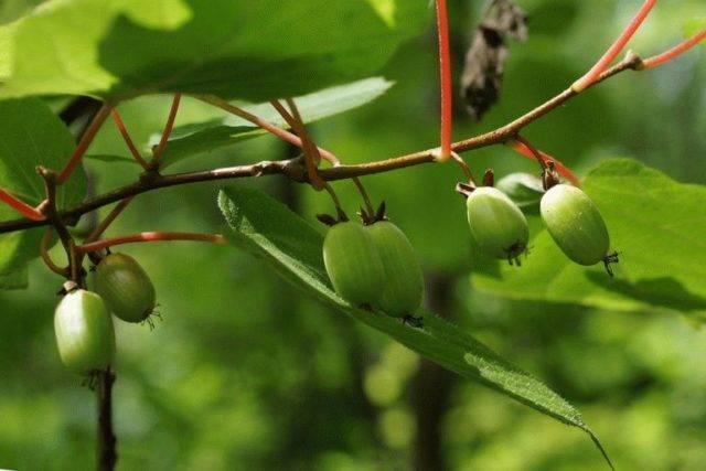 Актинидия и ее лечебные свойства