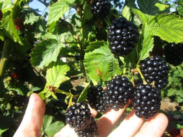 Секреты выращивания бесшипной ежевики