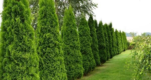 Выбираем хвойные растения для сада и дачи