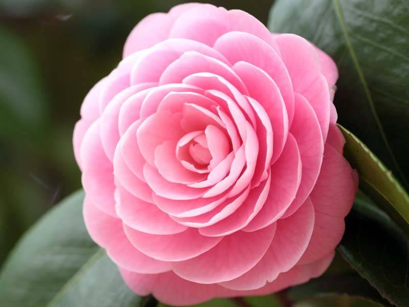 Камелия: чудо, похожее на розу