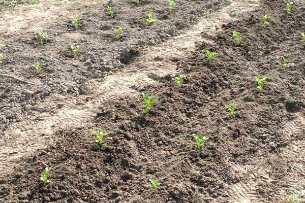 Выращивание черешкового сельдерея из семян, посадка и грамотный уход
