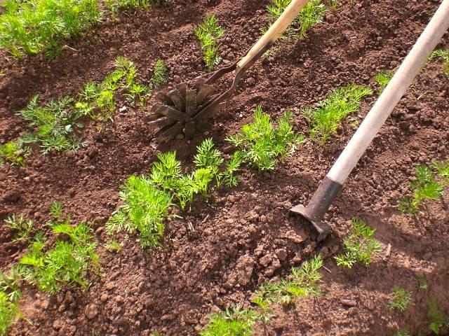 Посадка моркови весной в открытый грунт без прореживания