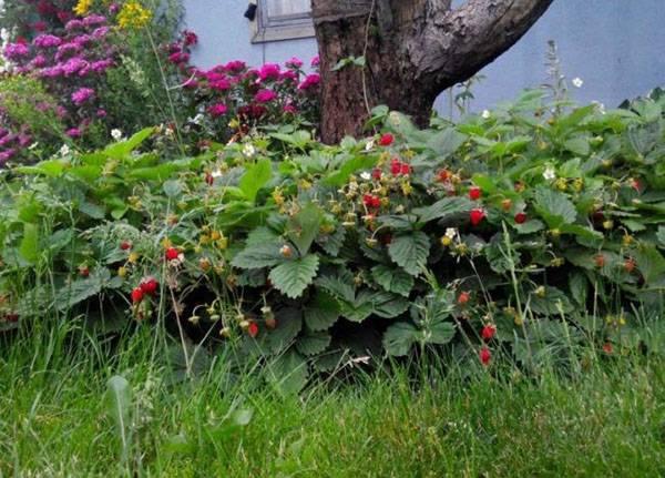 Клубника ремонтантная: чем хороша и как её выращивать