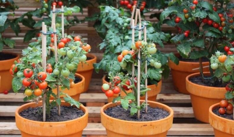 Вырастить помидоры черри на балконе – нет ничего проще