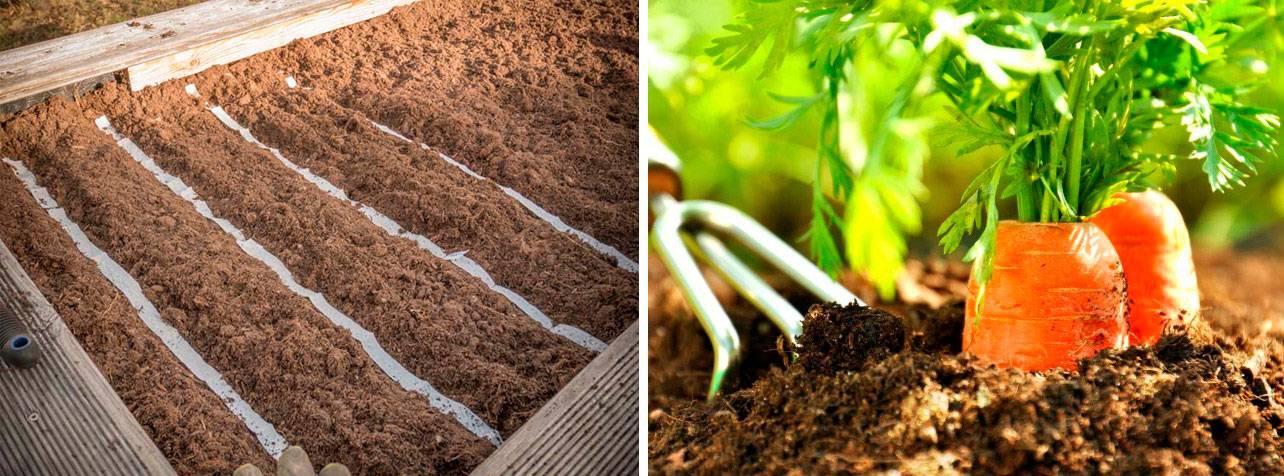 Как проредить морковь правильно на грядке в первый раз и повторно (с фото). как посадить без прореживания в 2020 году