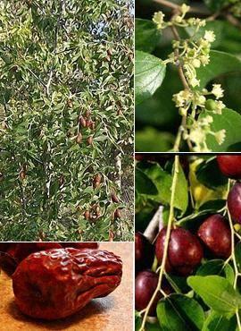 Полезные свойства и выращивание китайского финика