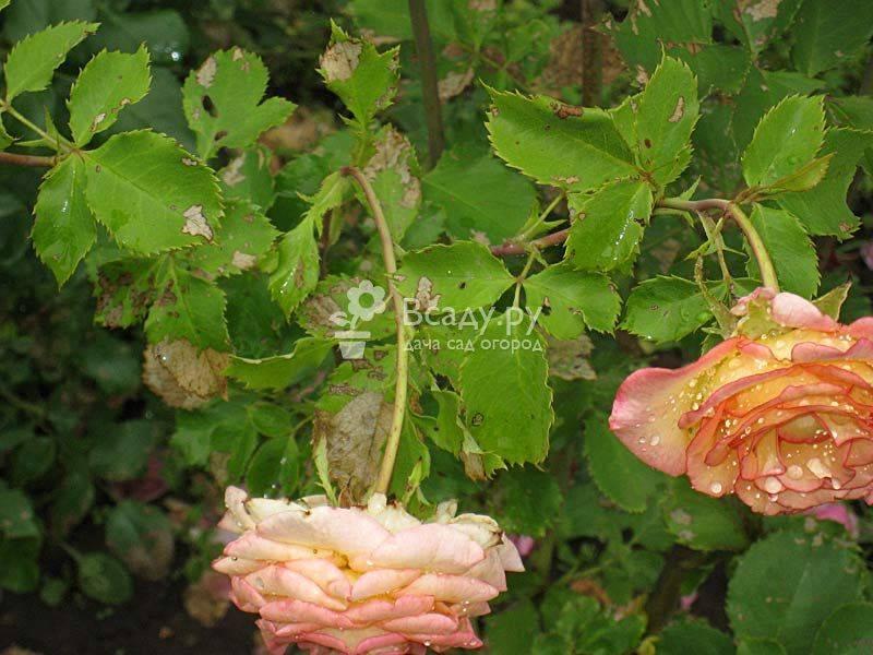 Почему у розы опадают листья летом — что делать
