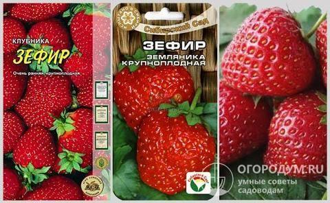 Клубника зефир: описание сорта крупноплодной садовой земляники с отзывами садоводов и фото