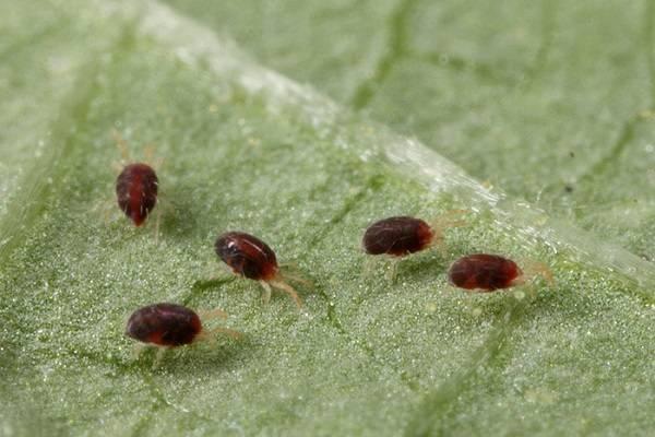 Защита баклажанов от болезней и вредителей