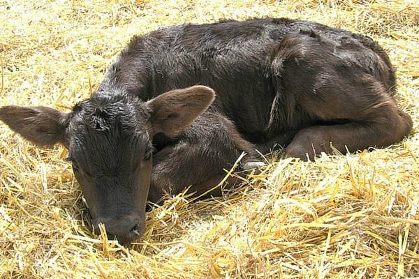 Что делать, если теленок не встает на ноги: основные причины, возможные заболевания, методы лечения