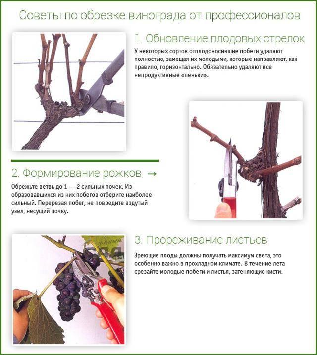 Формирующая обрезка винограда для начинающих: схемы, особенности, штамбовые формы