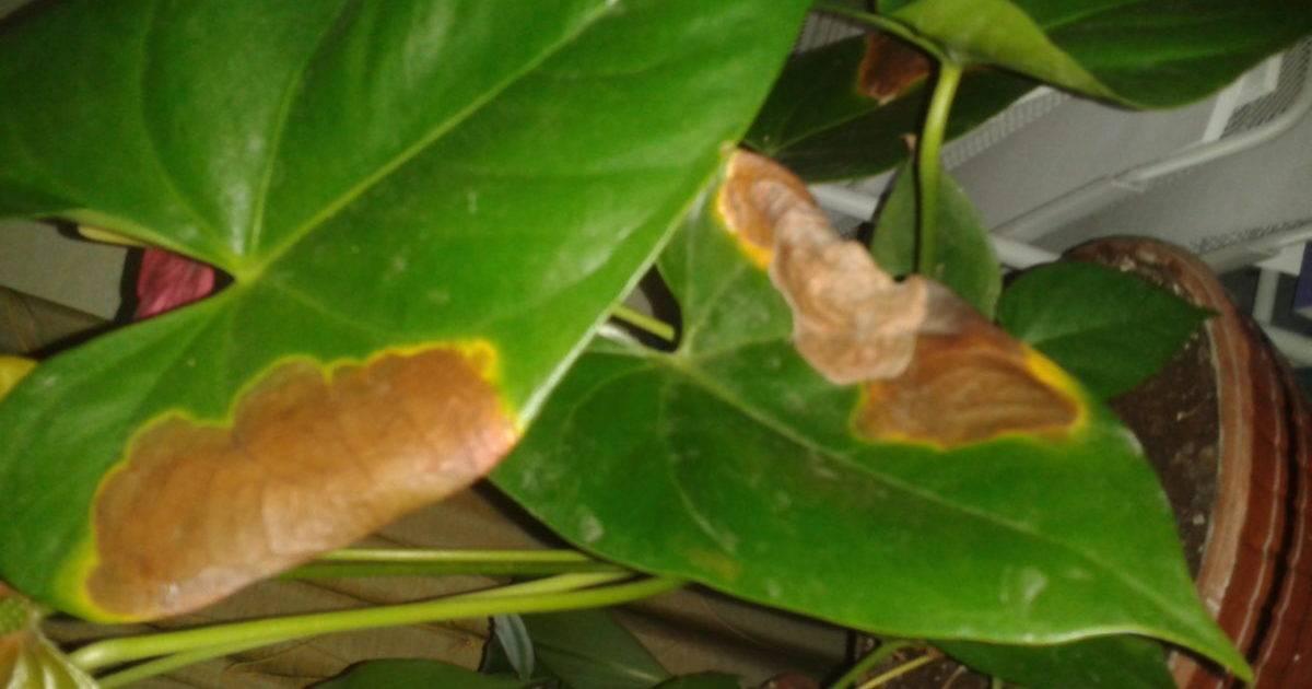 Уход за цветком антуриумом, сохнут листья, что делать?