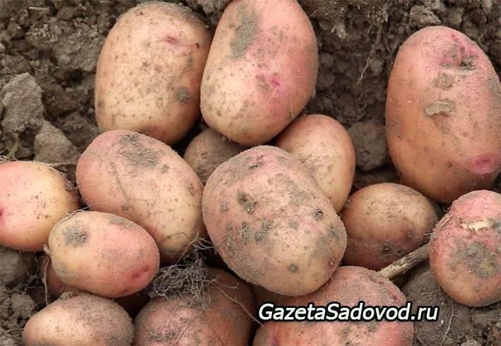 Благоприятные дни для высадки картофеля в 2020 году