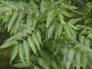 Ясень обыкновенный: фото и описание выращивания в домашних условиях. особенности посадки, полива и пересадки