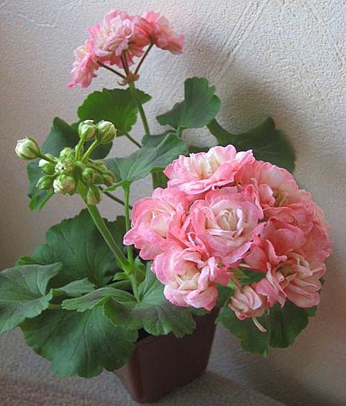 Фото и описание популярных сортов розебудной пеларгонии. особенности разведения и ухода за растением