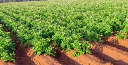 Что посадить после картофеля на следующий год: правила севооборота и здравый смысл