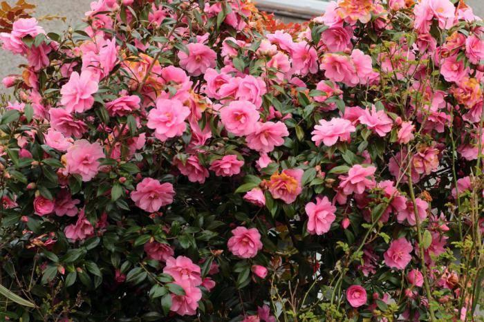 Камелия — японская красавица в вашем саду. пошаговая инструкция по посадке и уходу.