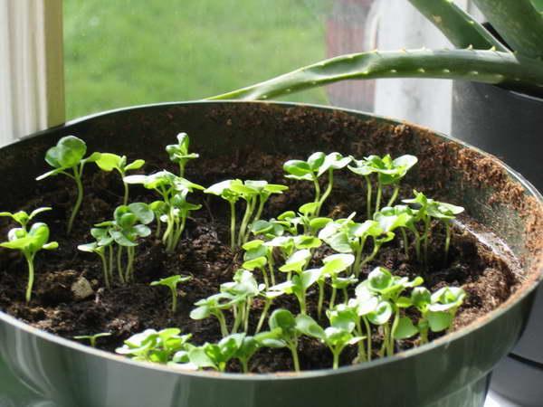 Простой способ выращивания базилика в открытом грунте