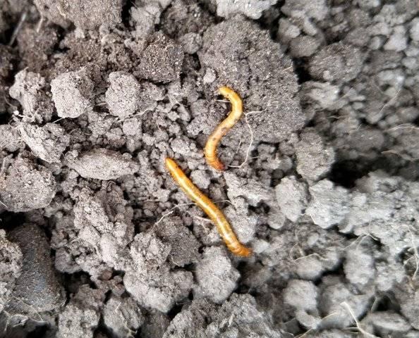 11 способов, как избавиться от проволочника в огороде навсегда.