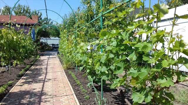 Шпалера для винограда своими руками: красиво, практично, долговечно