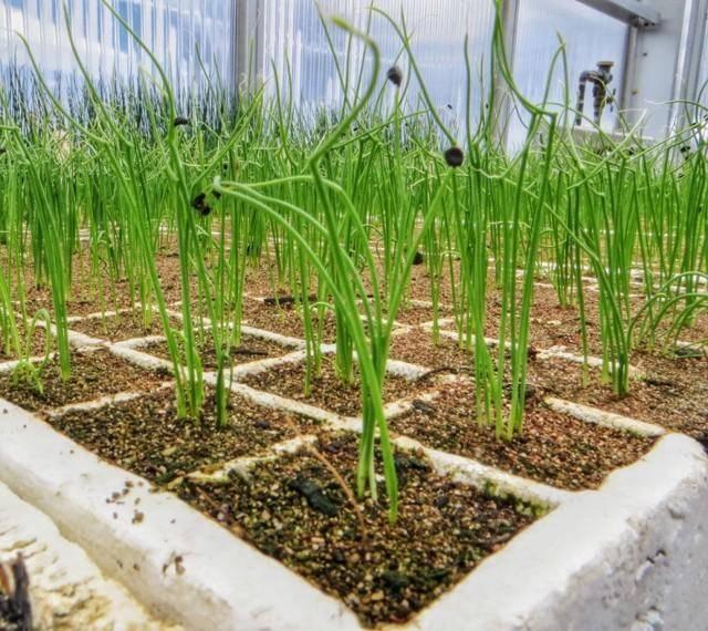 Выращивание лука зимой в теплице как бизнес — с чего начать, первые шаги