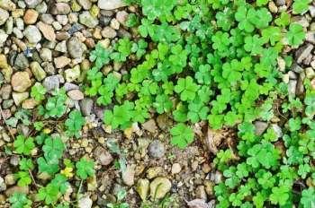 Заячья капуста (кислица комнатная) — тонкости ухода в домашних условиях, размножение. разновидности растения