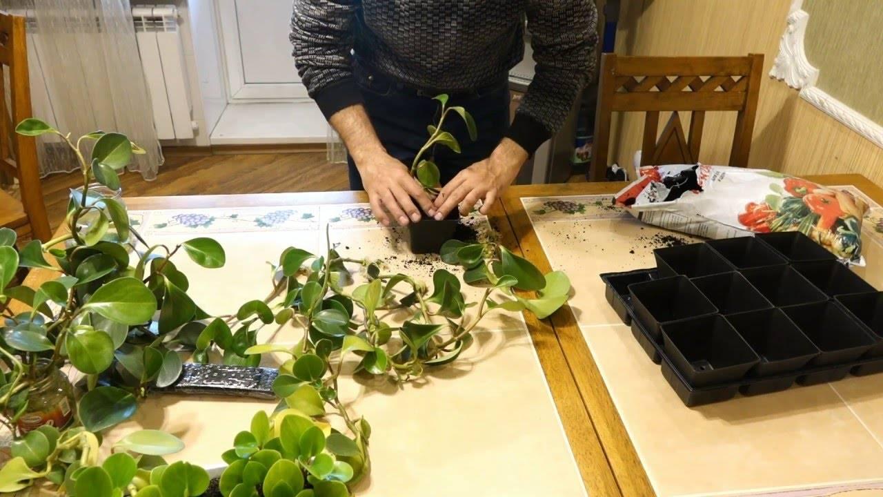 Описание и фото пеперомии головатой. особенности ухода за неприхотливым растением и его размножение