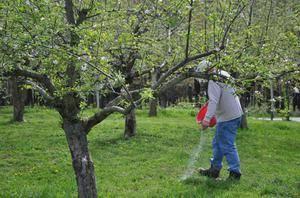 Подкормка груши: чем удобрять весной во время цветения