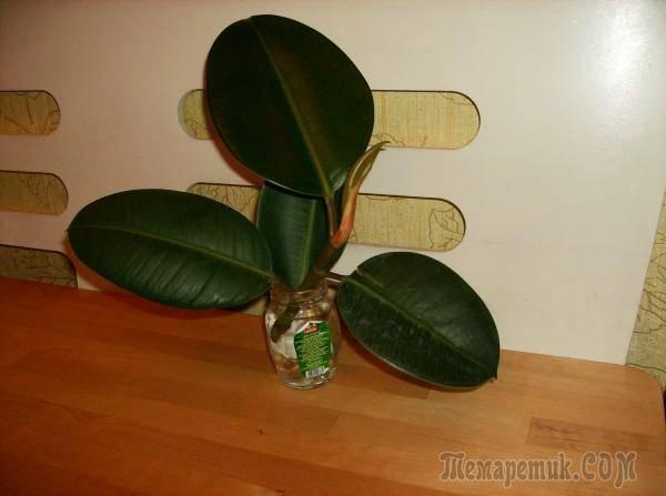 Популярный сорт черешкового сельдерея – паскаль. характеристика, выращивание и уход в открытом грунте
