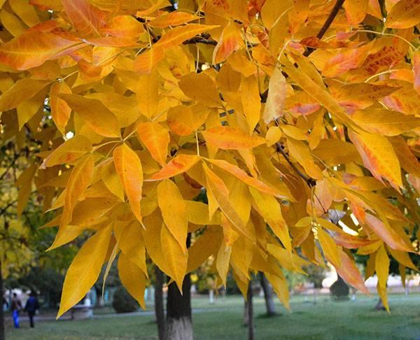 Как посадить ясень из семян. как выглядит ясень, посадка и уход за ясенем на даче
