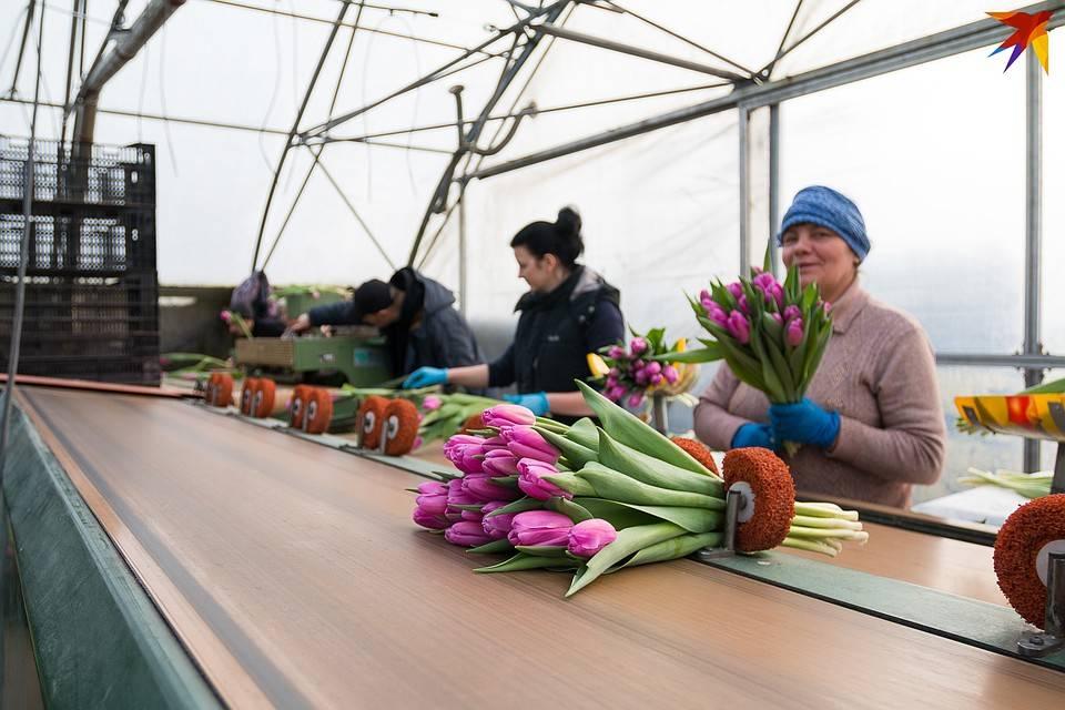 Выгонка тюльпанов к 8 марта в теплице: технология выращивания